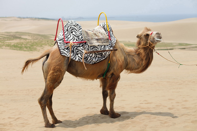 Bilderesultat for camel riding
